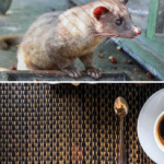Indo Cat Shit Coffee - Kopi Luwak