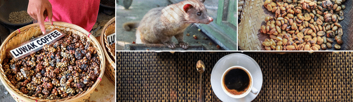kopi luwak coffee, price of kopi luwak, kopi luwak animal