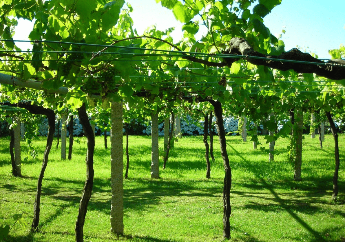 raising grapes, grape plant