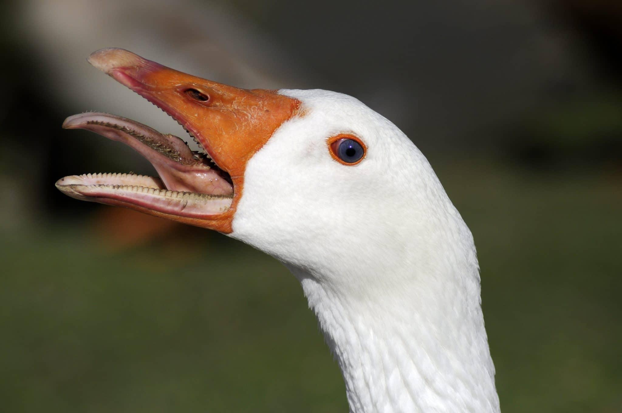 goose, preparing goose