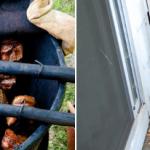 Pit Barrel Cooker vs Weber Smokey Mountain: Choosing the Best Backyard Barrel Smoker