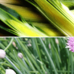 Leeks Vs. Chives- What You Should Know