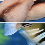 What Does Triggerfish Taste Like and How to Cook it Perfectly?